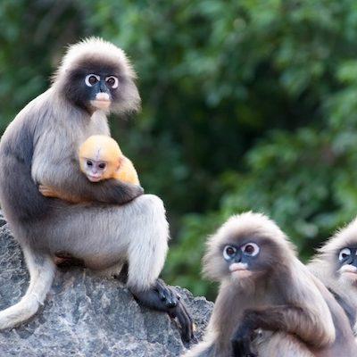 Family members of Dusky Leaf Monkeys
